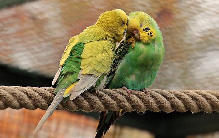 budgerigars-1820700_web