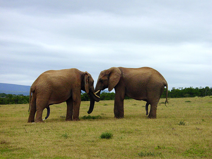 elephant-1046785_web
