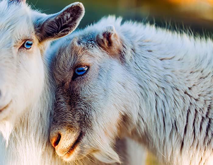 goats-1993649_web