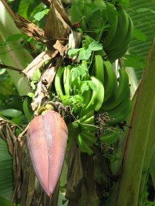 Banane so eden najpomembnejših sadežev za izvoz