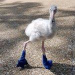 Prikupni mali flamingo nosi modre čevlje