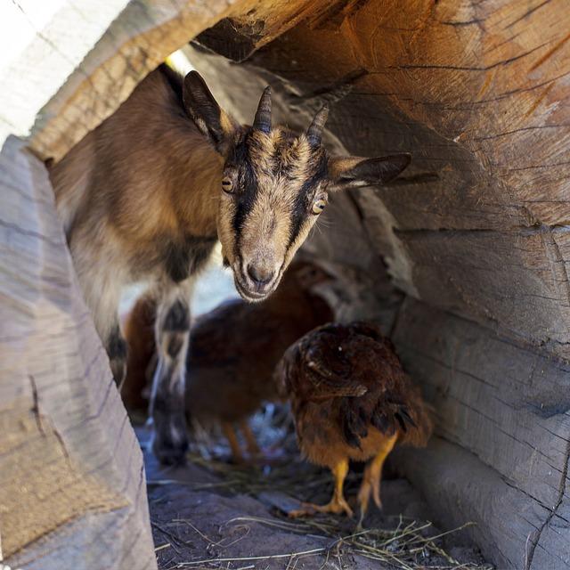 goat-1677935_640