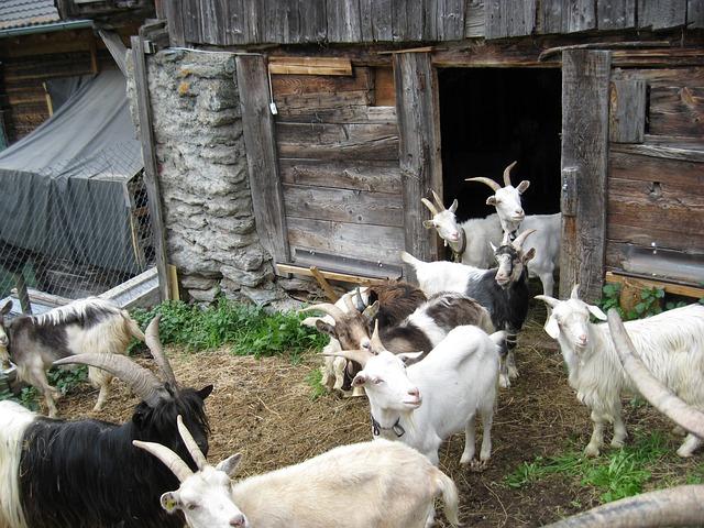 goats-215150_640