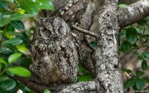Sova (Strigiformes)