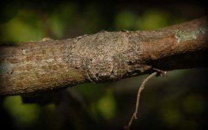 Pajek (Dolophones conifera)
