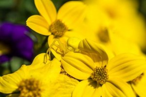 Cvetni pajek (Misumena vatia)