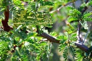 Kameleon (Chamaeleonidae)