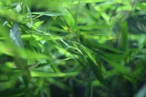Drevesna kača (Dendrelaphis punctulata)