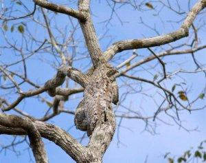 Veliki lastovičnik (Nyctibius grandis)