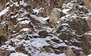 Snežni leopard (Panthera uncia)