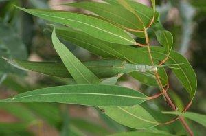 Žuželka (Tropidoderus childrenii)