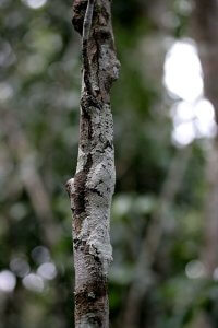 Gekon (Uroplatus sikorae)