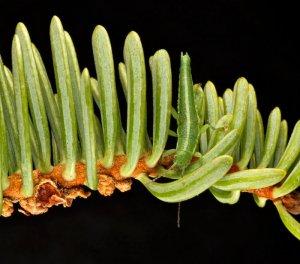 Kalifornijska žuželka (Phasmatodea)