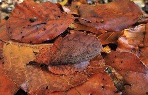 Vešča (Mappet leaf moth)