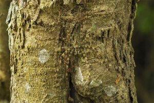 Pajek (Pandercetes gracilis)