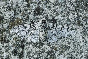 Poprasta vešča (Biston betularia)