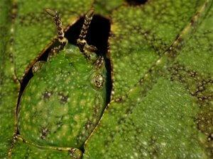 Malezijska listna žuželka (Phyllium giganteum)