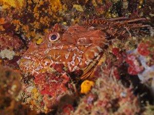 Rdeča bodika (Scorpaena scrofa)