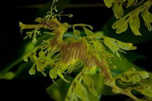 Velika avstralska algovnica (Phycodurus eques)