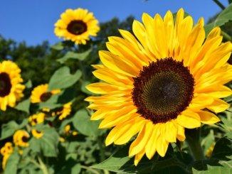 sunflower-1627193_1280