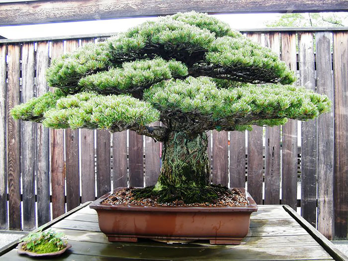 amazing-bonsai-trees-3