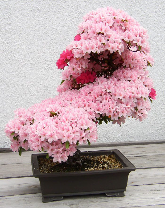 amazing-bonsai-trees-7