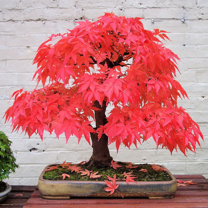 amazing-bonsai-trees-8