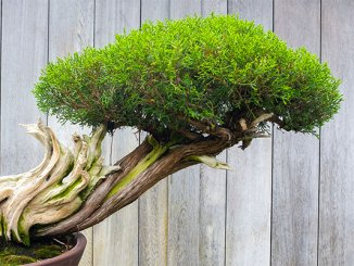 bonsai_web