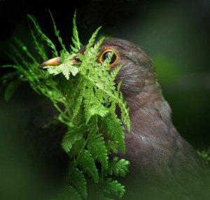 Samička nabira zelenje za gnezdo (foto: Alan Price)