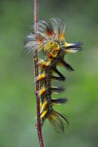 Gosenica v Wuhanu na Kitajskem (foto: Minghui Yuan)