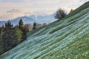 Pobočje Golice pokrito z narcisami, Slovenija (foto: Anne Maenurm)