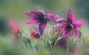 Kosmatinec v  Royal Botanic Gardens, London (foto: Alison Staite)