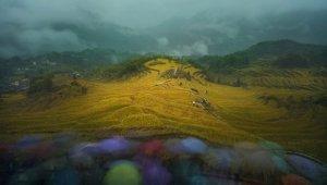 Zlata riževa polja na Kitajskem (foto: Shaofeng Zhang)