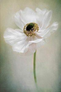 """Anemone de Caen"", Jacky Parker, Anglija"