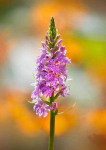 """Common Spotted Orchid"", Nigel Burkitt, Anglija"