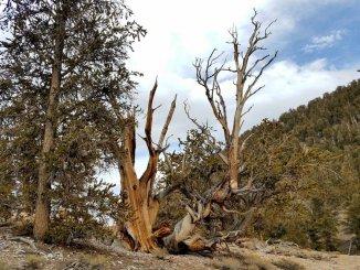 Dolgoživi bor (Pinus longaeva) je drevesna vrsta z zelo dolgo življenjsko dobo (foto: Whiskeybristles, Atlas Obscura)