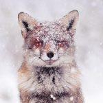 Fotografinja ujela resnične pravljične trenutke divjih lisic v snegu