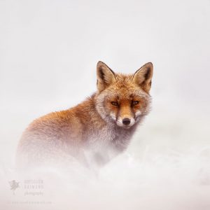 red-foxes-in-snow-roeselien-raimond-1