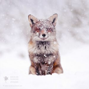 red-foxes-in-snow-roeselien-raimond-2