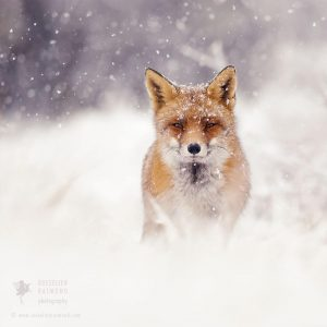 red-foxes-in-snow-roeselien-raimond-3