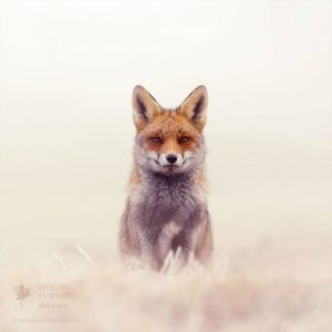 red-foxes-in-snow-roeselien-raimond-4