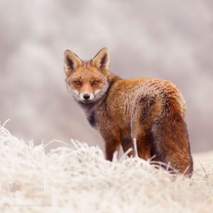 red-foxes-in-snow-roeselien-raimond-6