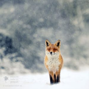 red-foxes-in-snow-roeselien-raimond-8