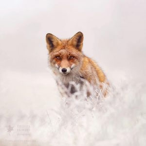 red-foxes-in-snow-roeselien-raimond-9