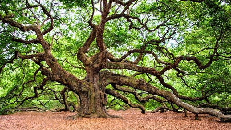Evropska drevesa z najbolj zanimivimi zgodbami