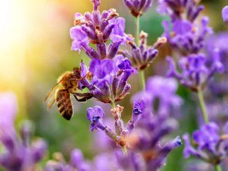 Medovite rastline - da bo naš vrt raj za čebele!