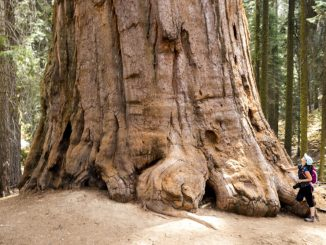 Peto največje drevo na Zemlji odslej varno pred drvarji