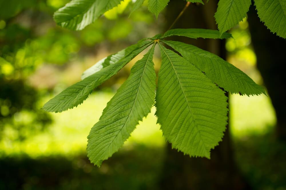 Divji kostanj v Sloveniji: sodelujte pri spremljanju zdravja dreves