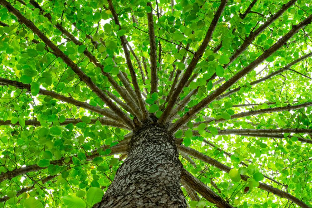 V Ljubljani tudi letos izbirajo drevo leta