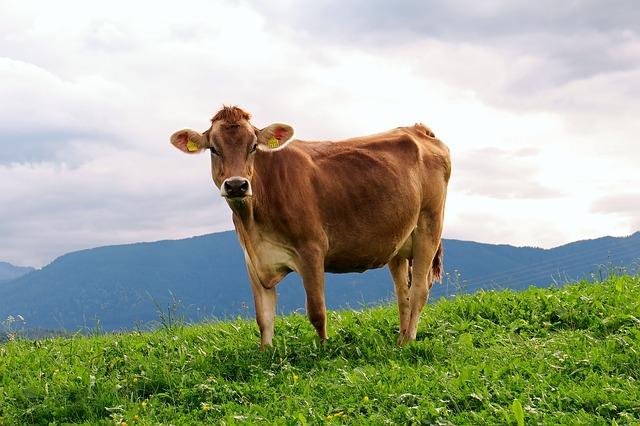 Veste, kaj je seneno meso in seneno mleko?